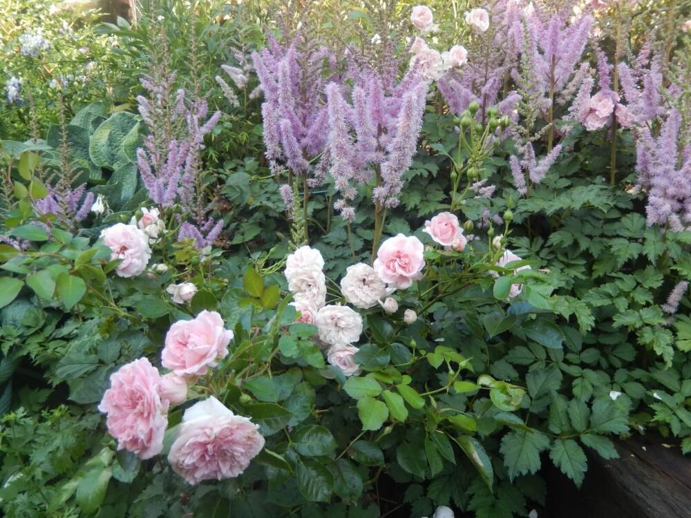 INDRE RO: - Å se blomster spire og gro blir en kontrast til vårt travle dagligliv. På denne måten gir hagearbeid en indre ro, sier psykolog Grethe Nordhelle. På bildet: roser og Japanspir i forfatterens hage.