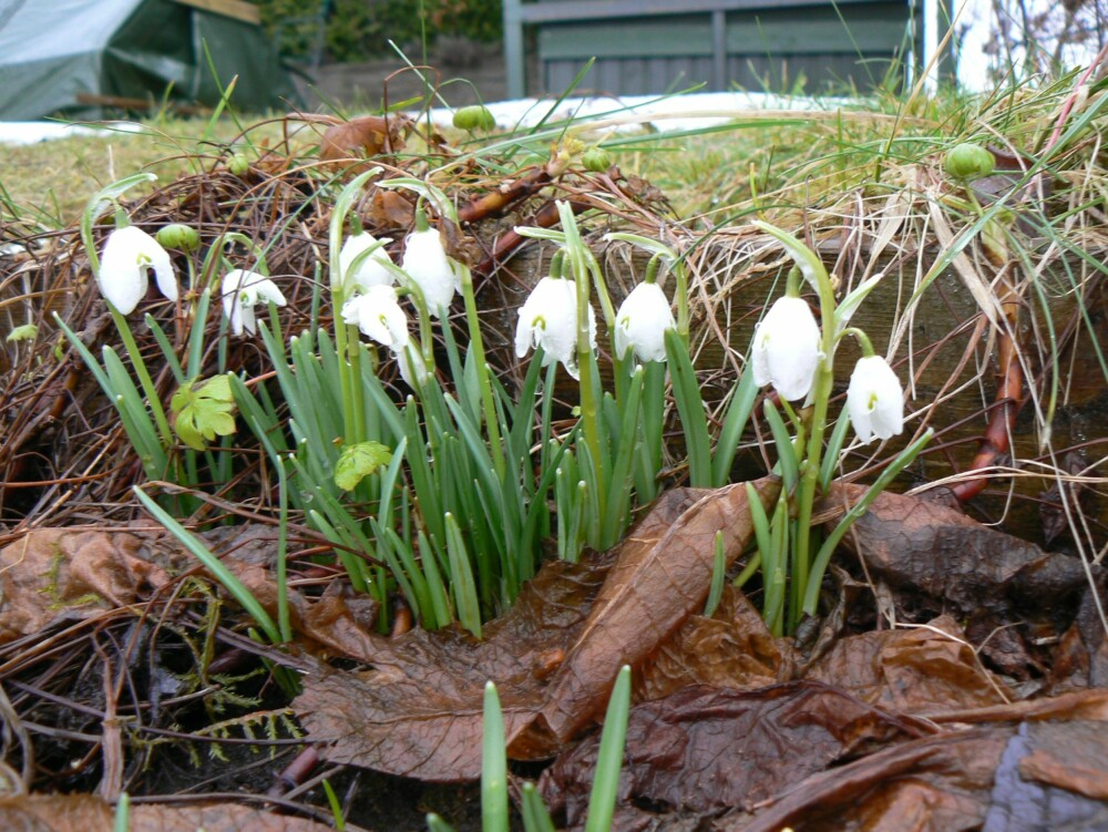 SNØKLOKKER: Om våren stikker snøklokkene hodet opp av snøen. De kan spre seg til små blomstertepper i hagen.