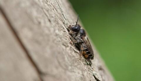 Forskjell på bie og veps