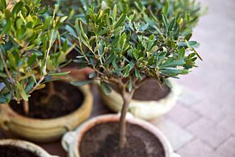 BØR SETTES INN: Oliventreet takler dårlig vårt nordiske klima på vinteren og bør settes inn.