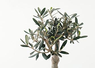 NYE SKUDD: Et oliventre som mister bladene sine på vinteren, vil mest sannsynlig få nye, friske skudd når det settes ut på våren.