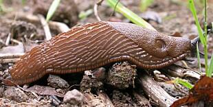 BØR BEKJEMPES: Brunskogsneglen (Arion vulgaris), også kalt iberiasnegl eller mordersnegl, plager mange hageeiere