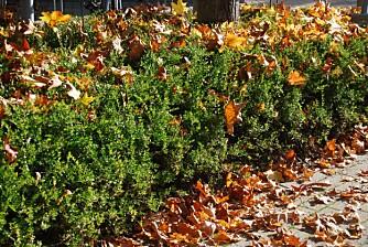 HØSTFARGER: Hekk med fargerike blader. Husk å fjerne løvet før frosten kommer.