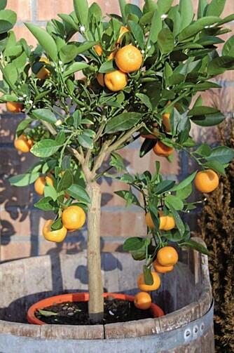 PLANT ET TRE: Sjekk hvorfor eksperten mener du bør satse på få store over mange små planter på balkongen. FOTO: Mester Grønn