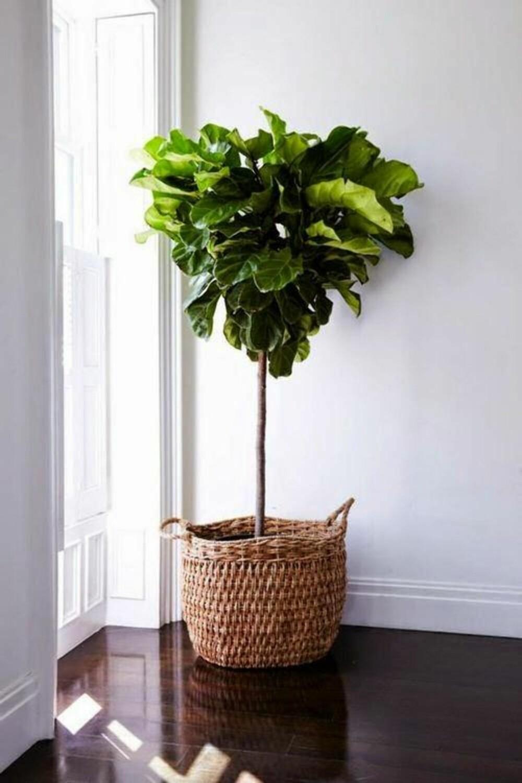 FIKENTRE: Ett av de mest trendy trærne du kan ha inne akkurat nå, er fikentreet. FOTO: Bellamumma.com