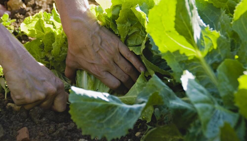 KJØKKENHAGE: Hva med selvdyrket salat i sommer?