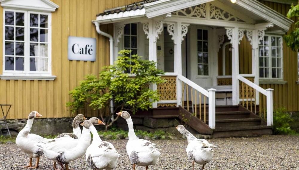 DEN NORSKE LANDGÅSA: Smaalensgåsa, bærer det gamle navnet på Østfold fylke, Smaalenenes amt. På 1800-tallet bidro den til biinntekter til familien og kjøtt, egg, fett og dun til eget hushold.