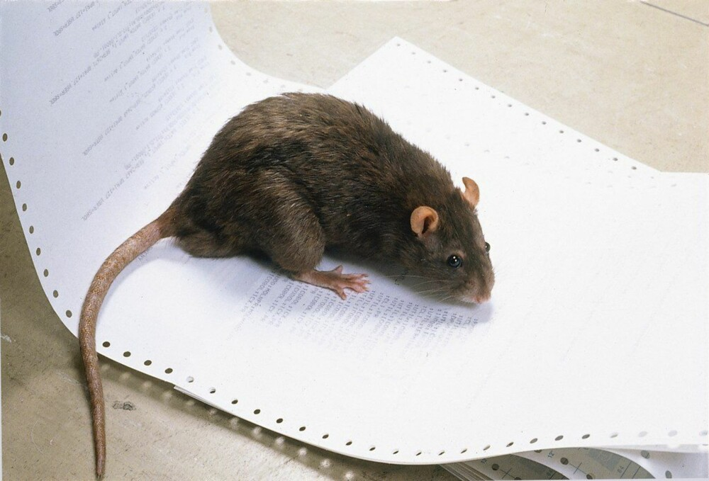 BRUNROTTE: Når gradestokken kryper mot null øker sjansen for at du får mus og rotter på besøk.