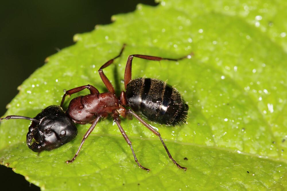 MAUR INNE: Mens den svarte skogmauren ikke gjør stor skade inne, fordi den kun gnager på allerede ødelagt treverk, vil stokkmauren også gå løs på helt friskt treverk, om den ikke finner noe som er mykere.