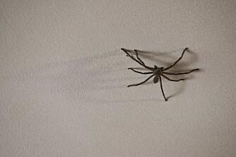 NYTTEDYR: Edderkopper kan være til hjelp mot skadedyr i hjemmet.
