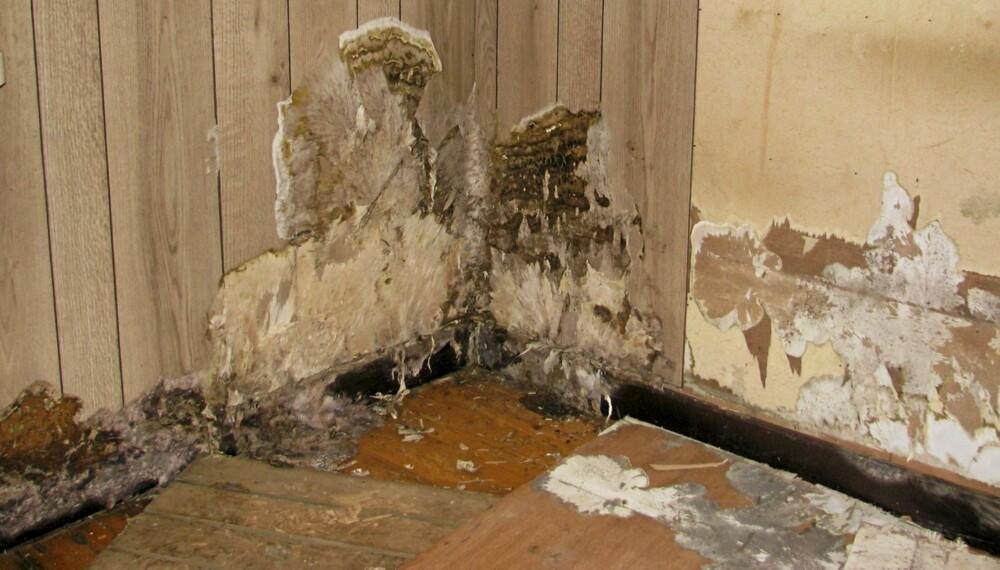 STERKT ANGREPET: Av råtesopper som går til angrep på boligen er ekte hussopp den verste. Bildet viser avdekking av omfattende hussoppskader.