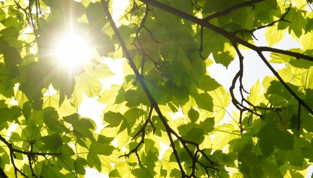 SKYGGEFULLT KAN GI GEVINST: Jo mer av eiendommen din som ligger i skyggen grunnet naboens trær, jo bedre sak har du.