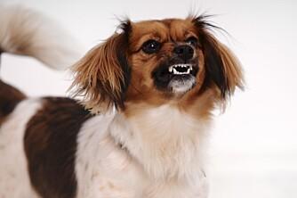 KNURRING: Hunden sier veldig mye før den tyr til knurring eller biting.