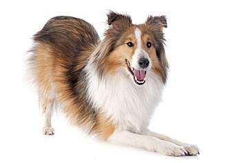 LEKESTILLING: Det er ikke sikkert hunden vil leke når den går ned i lekestilling.