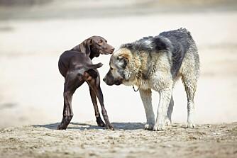 GÅ I BUE: Det finnes mange andre dempende signaler. Her har du for eksempel to hunder som hilser. Den ene er i fryseposisjon, den andre har gått i bue.