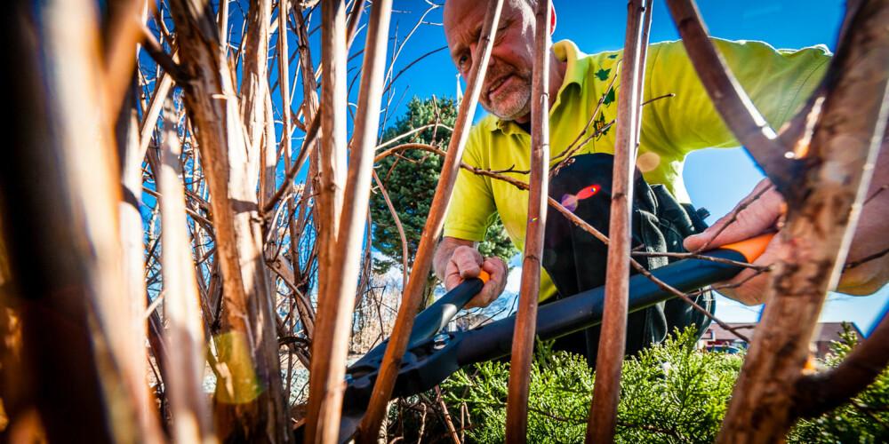 KLIPP HELT NED: Når du beskjærer en prydbusk skal du tynne ut, ikke kappe av på lengden, råder gartner Per Kristiansen.