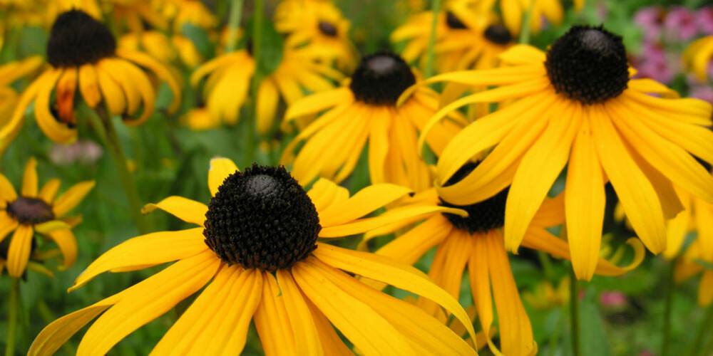 BLOMSTRER LENGE: Sommer-rudbeckia er vanlig i mange beplantinger rundt offentlige bygg, det kan nok komme av at den blomstrer lenge.