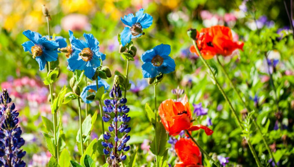 PLANT STAUDER: Spør på hagesenteret etter stauder, de kommer igjen i flere år og blomstrer på ulike tider. Da får du et variert og pent bed i hagen.