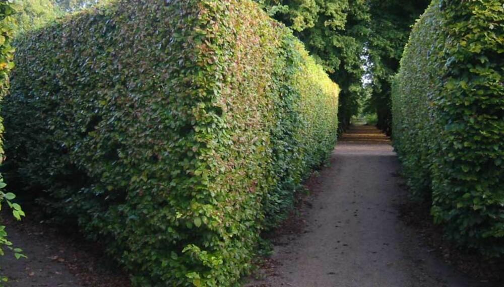 De fleste hageeiere trives godt med en mer uformell hekk enn de snorrette hekkene man finner i offentlige anlegg og botaniske haver.