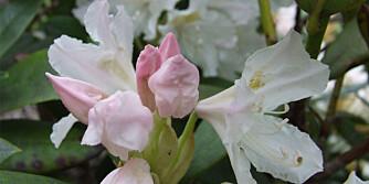 PASS PÅ: Rhododendron trenger mye vann.