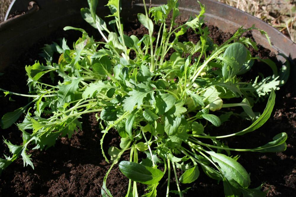 PENT OG GODT: Salat og urter egner seg veldig godt til å plantes i store krukker eller bed.