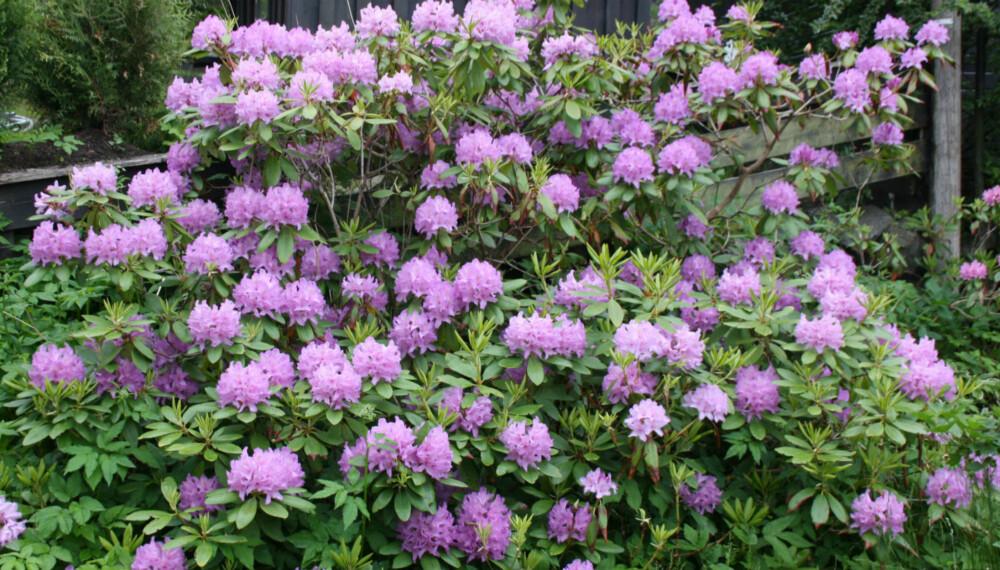 LIKER LAV PH-VERDI: Rhododendronbusken er en kjent gjenganger i norske hager og en plante som trives med lav pH-verdi i jorda. Men mange andre planter klarer ikke å ta til seg næring hvis pH-verdien er for lav.