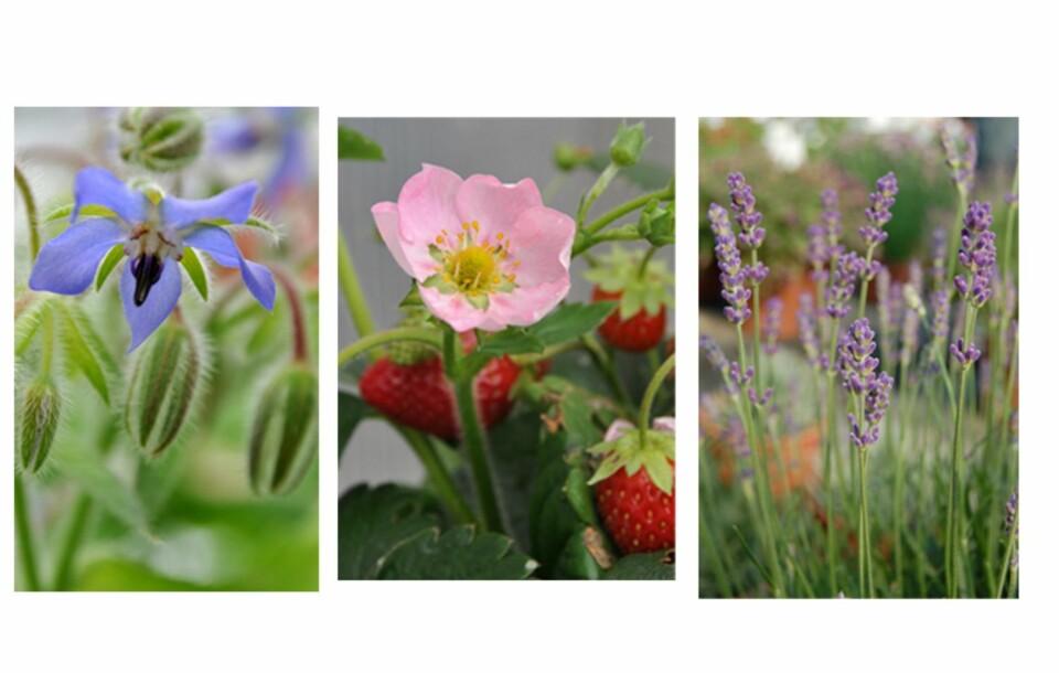 SPISELIGE BLOMSTER: Agurkurt, månedsjordbær og lavendel er blomster du trygt kan spise.