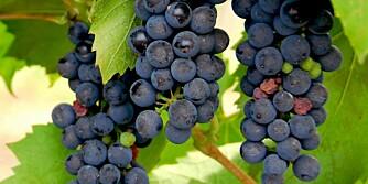 SYDLANDSK: Med et drivhus blir du raskt din egen vinprodusent.