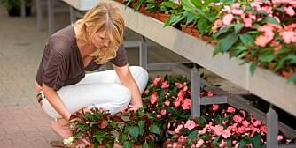VELG RIKTIG: Med noen få kjøreregler finner du de beste blomstene hos leverandøren.
