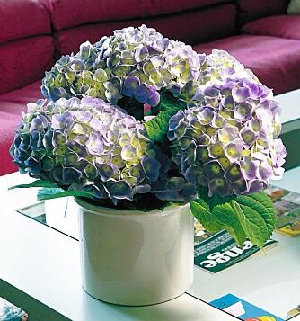 HORTENSIA:  Blomstrende potteplanter krever mer vann enn grønne potteplanter. Her er planten hortensia.