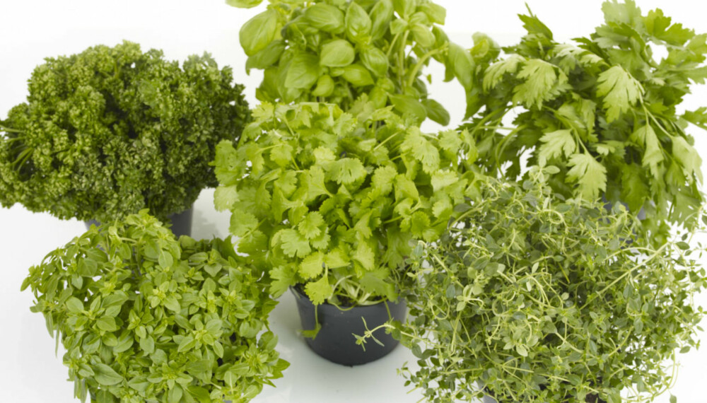 URTER PÅ KJØKKENBENKEN: Krydderurter er ikke ment å være pynt på kjøkkenbenken, men skal spises i store mengder og kan brukes i all slags mat.