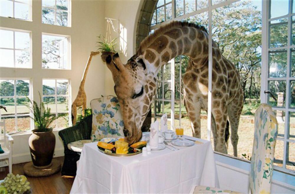 GIRAFFE MANOR: Del frokosten din med disse karene.