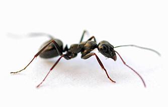 SKADEDYR: Har du mange av disse skapningene innomhus, kan de gjøre stor skade på boligen din.