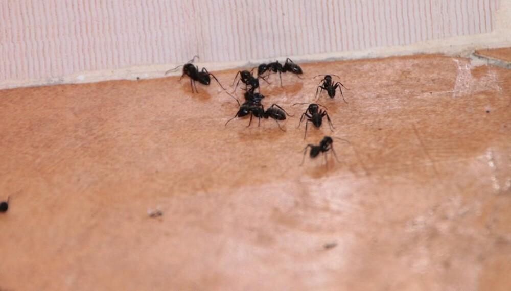 INN OVERALT: Maur kommer seg inn i boligen din gjennom sprekker som uungåelig oppstår i isolasjonslaget.
