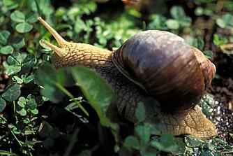 DELIKATESSE: Vinbergsneglen (Helix pomatia) regnes som en delikatesse i Frankrike, og forekommer nå også i norske hager.
