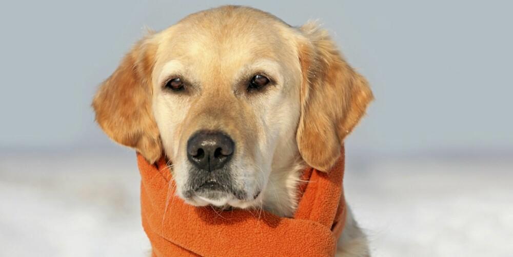 FAMILIEHUND NUMMER EN: Mange tenker at Golden Retriver er den ultimate familiehunden, men for små barn er den alt for stor til at de klarer å håndtere den på egenhånd.