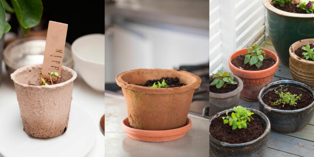 GRØNT OG FINT: Etter noen dager begynner frøene å spire. Plant spirene over i større potter inne før de kan settes ut.