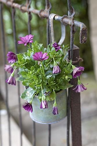 OPPHENGT: Potter med sommerblomster er en enkel måte å skape frodig romantikk.