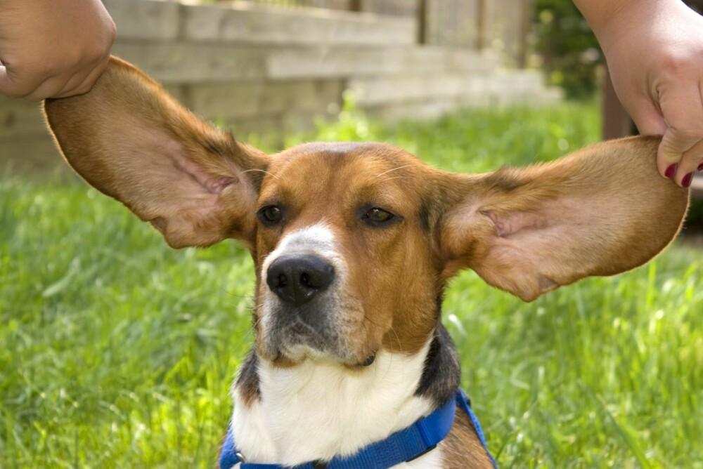 NØYE: Jevnlig sjekk av ørene til hunden din er til god nytte.