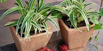 BLIR STØRRE: Stripete utgave av Grønnrenner før de lange stilkene vokser ut.
