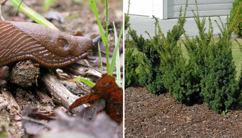 ÅPEN HAGE: For at det skal tørke raskest mulig ut i hagen bør man anlegge en ryddig, lys, luftig og åpen hage. Da trives sneglene dårlig. Fjern også åpne avfallshauger og komposter. Deretter planter du blomster som brunsneglene ikke liker.