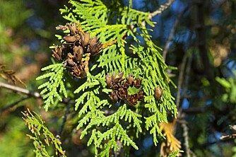 OPPVÅKING. Vårsolen kan vekke mange vintergrønne vekster opp av dvalen for tidlig.