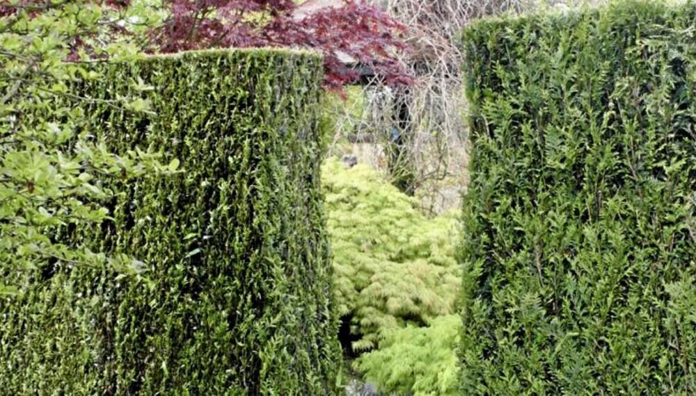 BRUN TUJA Jo da, du kan få den høyreist og vakker hvis du behandler den pent, men altfor ofte dukker det opp pjuskete busker.