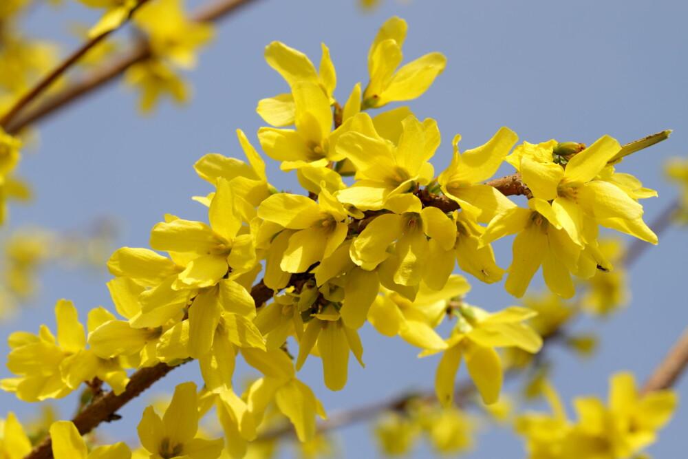 GIFTIG: Gullregn er blant plantene som kan være giftige for barna dine.