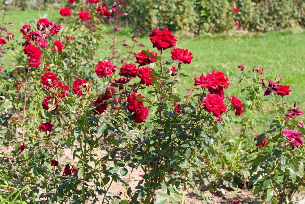 ROSEBUSKER: Tiden er inne for å plante rosebusker. Pass på at podestedet er 10-15 centimeter under jorden.
