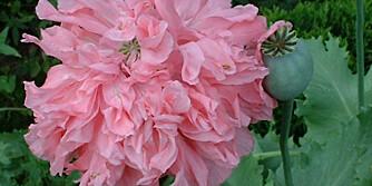 Den ettårige fylte valmuen 'Bombast Pink' kan du så rett i hagen.