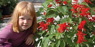 Blant årets frønyheter finner vi den fargesterke <i>Salvia</i> 'Bonfire'.