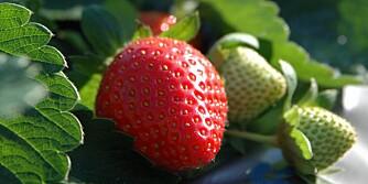SNEGLESNACKS: Sneglene elsker jordbærblader.
