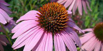 SOLHATT: Echinacea er godt for forkjølte hageeiere, og er dekorativ i hagen.