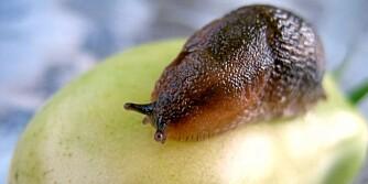 BLIR FLERE: Sneglene legger opptil 400 egg hver, så det er mye å vinne på å stoppe sneglene nå.